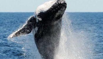 Без паники: так купаются горбатые киты