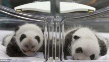 Редкая пара панд родилась в Мадридском зоопарке