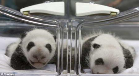 Близнецы панды