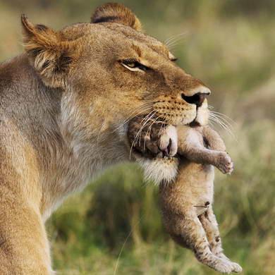 Львица и детеныш