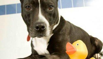 Шок: из желудка собаки ветеринары извлекли резиновую утку