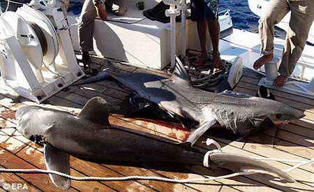 Шарм Эль Шейх и акула
