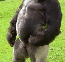 Удивительная громадная горилла Ambam ходит на двух ногах как человек