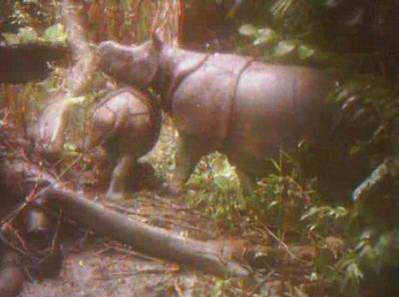 детеныш носорога