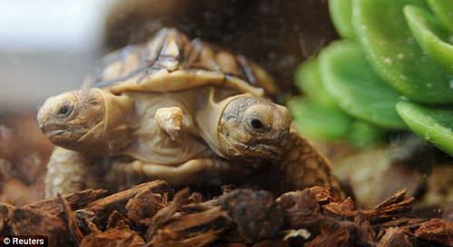 черепаха мутант