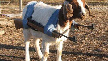 Четырехногий бандит: вооружен и очень опасен