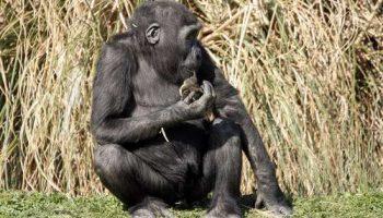 Удивительные родительские отношения гориллы Комэли к утенку