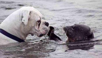 Ошеломленный пес получил шлепок по носу от тюленя