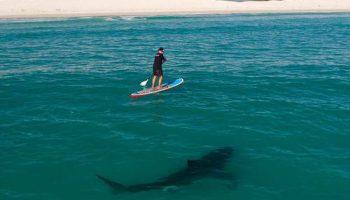Эксперт по акулам плавает рядом с большой белой хищницей ради их реабилитации