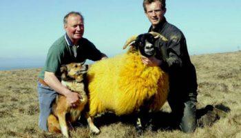 Чтобы овец не крали, фермер их покрасил в оранжевый цвет