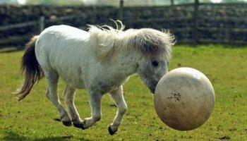 Пони любит играть в футбол