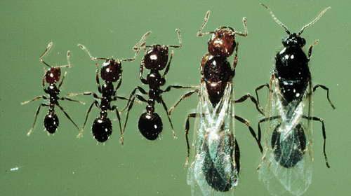 Южноамериканские муравьи