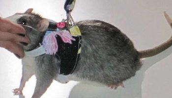 В Нью-Йорке прошло крысиное фэшн-шоу