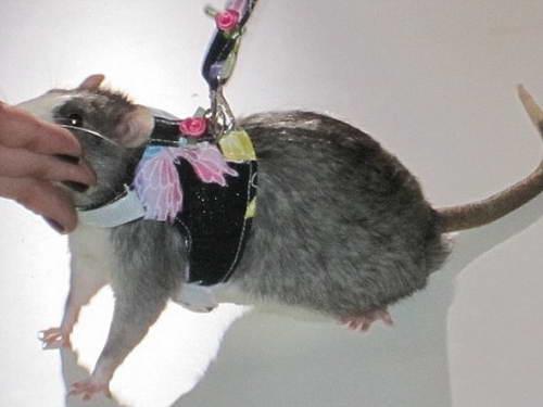 Крысиное фэшн-шоу