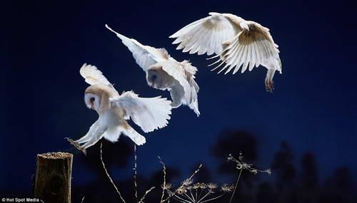 Приземление совы