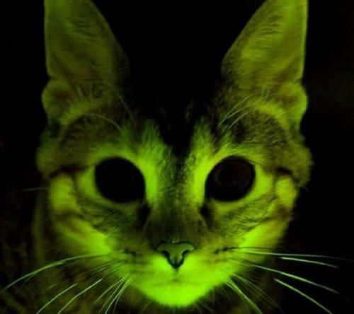 Зеленый котенок стойкий к СПИД
