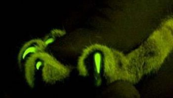 Ген, который делает кошек светящимися, поможет найти лекарство от СПИДа
