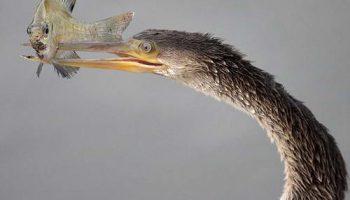 Американская змеешейка пользуется клювом при ловле рыбы как шампуром