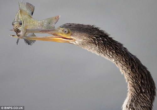 Змеешейка пронзает рыбу