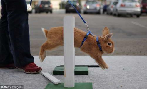 Скачки кроликов с препятствиями