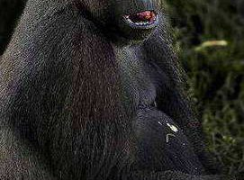 Горилла Якини из зоопарка Мельбурна проходит медосмотр