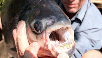 В Папуа Новая Гвинея рыба паку кастрирует молодых рыбаков