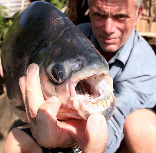 Рыбы паку кастрирует рыбаков