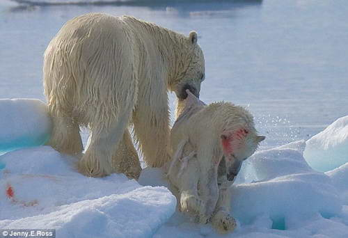 Белый медведь каннибал