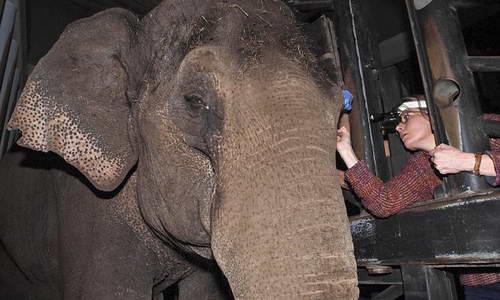 Слониха Вин Тхида во время операции