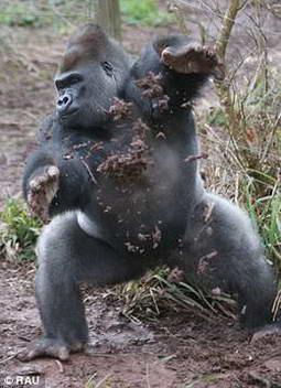 Горилла Кумбука отстреливается камнями