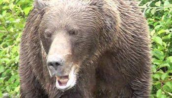 Оказывается, в местах обитания медведей пистолет малоэффективен