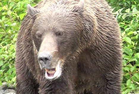 От атаки медведя ружье не спасет