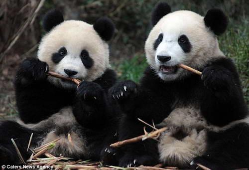 Панды за завтраком