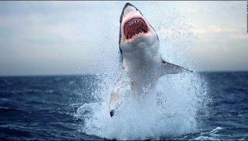 Белая акула и тюлень: шокирующий снимок с побережья Южной Африки