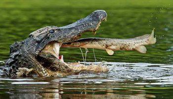 Уникальная фотография: крокодилу в пасть рыба прыгнула сама