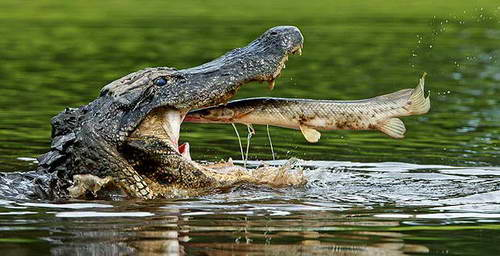 Рыба прыгает в пасть крокодилу