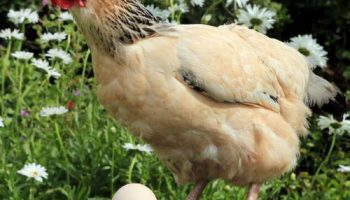 Курица Джессика снесла яйцо в три раза больше обычного – 170 грамм