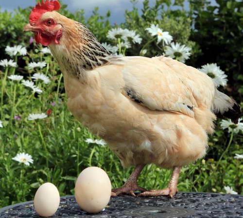 Курица снесла яйцо в 3 раза больше обычного