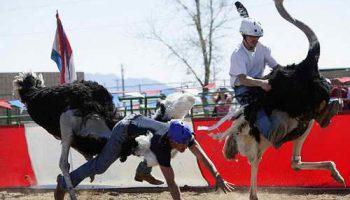 Большие американские страусиные гонки отпраздновали свое 25-летие