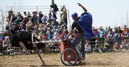 Большие американские страусиные гонки