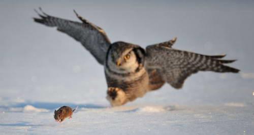 Россия: Сова атакует мышь