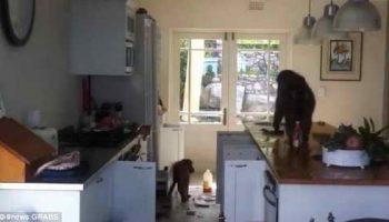 В Южной Африке стая бабуинов пробралась в дом и разгромила его в поисках еды