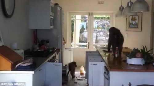 Бабуины грабят дом
