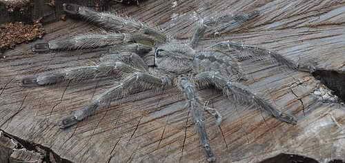 Гигантский тарантул размером с лицо человека