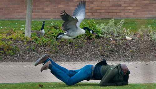 Неудачный побег от гуся защищающего гнездо