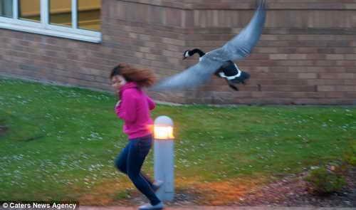 Еще одна жертва гуся