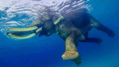 Слон Раджан купаться в море