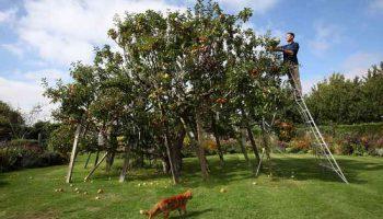 На одной яблоне растет 250 сортов яблок